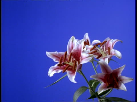 vidéos et rushes de t/l flower - cu stem of white and pink day lily opening, against blue screen - étamine