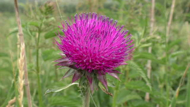 flower thistles - thistle stock videos & royalty-free footage