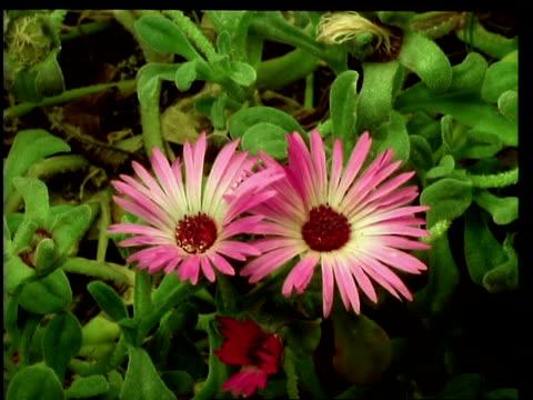 t/l flower - cu three pink mesembryanthemum flowers closing, natural background - aptenia stock-videos und b-roll-filmmaterial