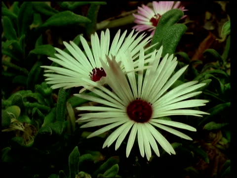 t/l flower - cu two white mesembryanthemum flowers closing, natural background - aptenia stock-videos und b-roll-filmmaterial