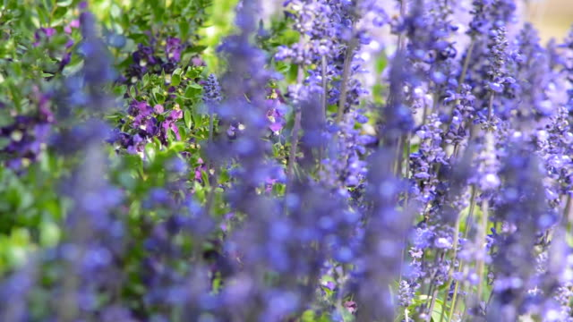 flower - lavender stock videos & royalty-free footage