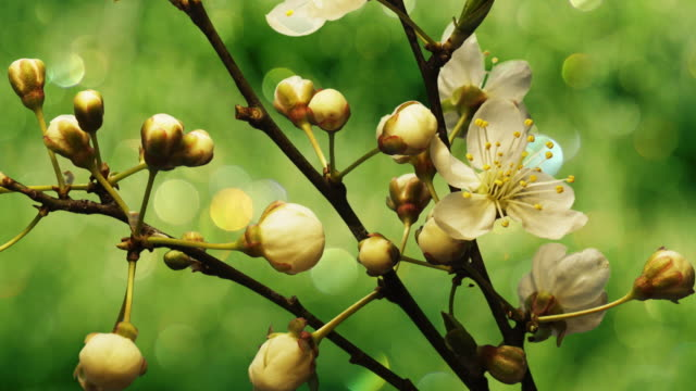 flower - apricot stock videos & royalty-free footage