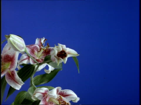 t/l flower - cu white and pink day lily opens, against blue screen - day lily stock videos & royalty-free footage