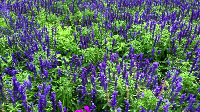 flowerbed lavender - giardino pubblico giardino video stock e b–roll
