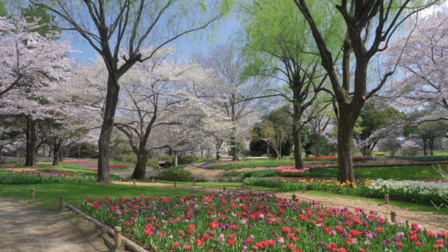 cs ws slo mo flowerbeds and cherry blossom, showa memorial park, tokyo, japan - 花壇点の映像素材/bロール