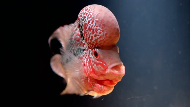 Flowerhorn Crossbreed Cichlid Pet Fish in water