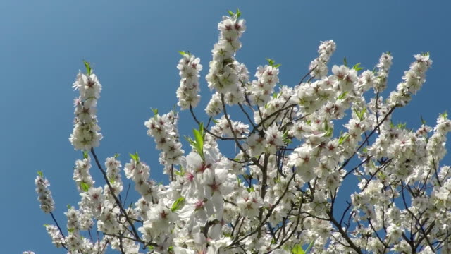 Flowering almond branches against the blue sky