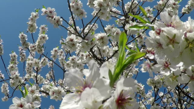 Flowering branches and young leaves of almonds against the blue sky