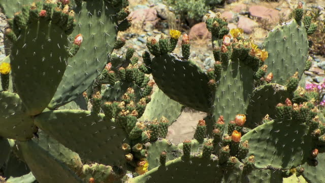cu flowering cactus, ait barka, morocco - cactus stock videos & royalty-free footage