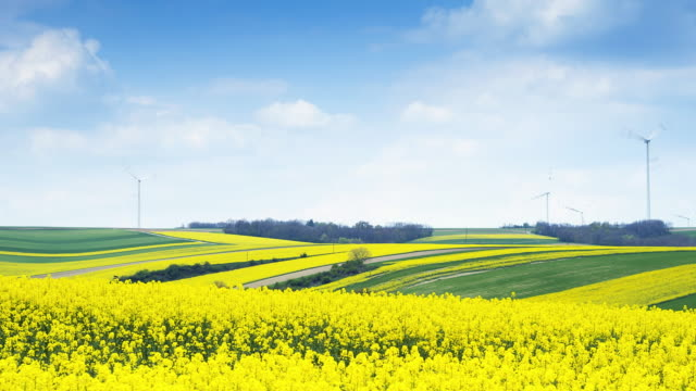 flowering canola field; time lapse - canola stock videos and b-roll footage