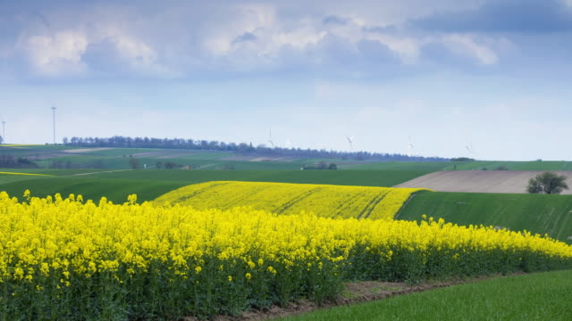 Flowering Canola Field; TIME LAPSE