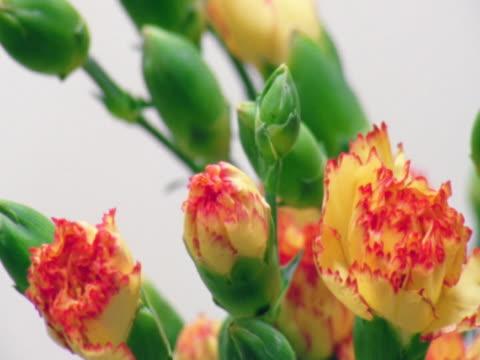 flowering carnations - carnation flower stock videos & royalty-free footage