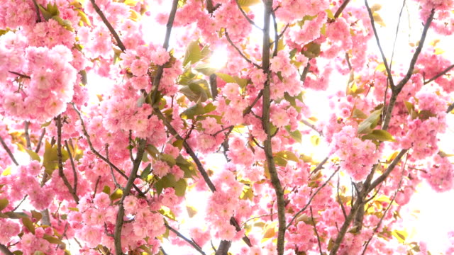 4K: Flowering cherry blossom - tree and sun flare - Stock video