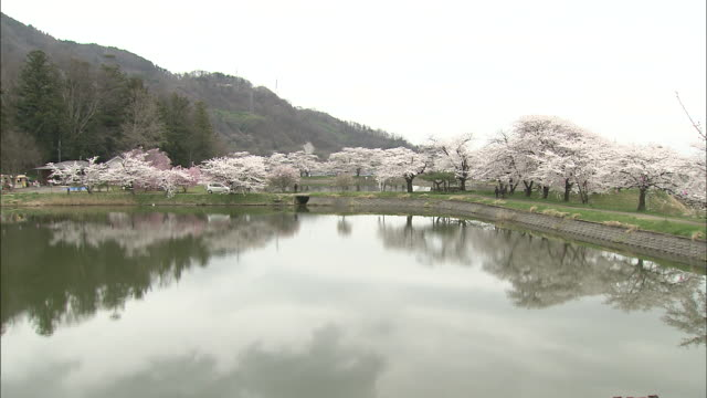 flowering cherry trees reflect in a park's pond. - nagano prefecture stock videos and b-roll footage