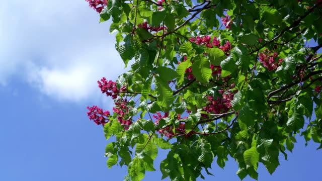 vidéos et rushes de floraison de marronnier - arbre en fleurs