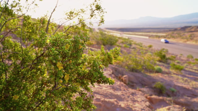 flowering creosote bush in arizona desert at early spring, static video - bush stock videos & royalty-free footage