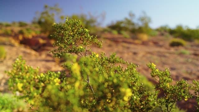 早春にアリゾナの砂漠でクレオソートブッシュを開花 - ネバダ州クラーク郡点の映像素材/bロール