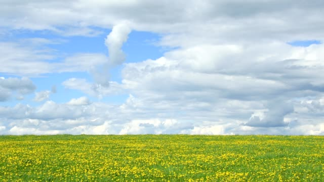 flowering dandelion meadow in spring, hesse, germany - prateria campo video stock e b–roll