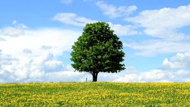 flowering dandelion meadow with chestnut tree in spring, hesse, germany - single tree stock videos & royalty-free footage