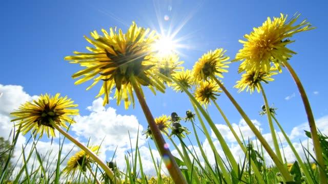 Flowering dandelion with sun in spring, Hesse, Germany