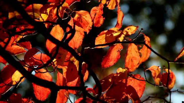 vídeos de stock e filmes b-roll de flowering dogwood leaves - cornus