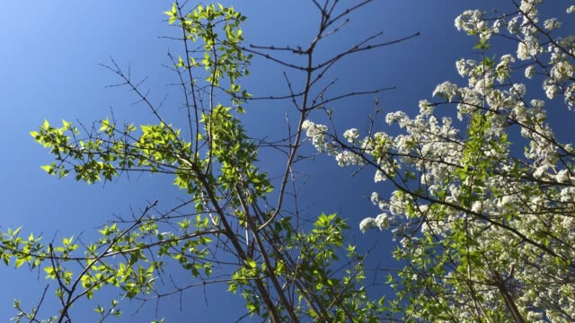 vídeos de stock e filmes b-roll de flowering dogwood trees against blue sky - cornus
