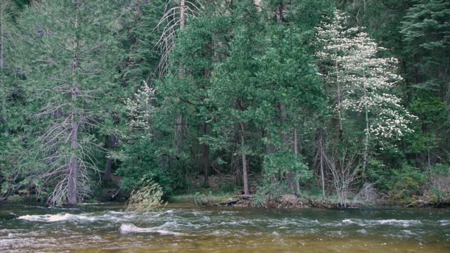 flowering dogwood trees on bank of merced river in yosemite national park, california - dogwood stock videos & royalty-free footage