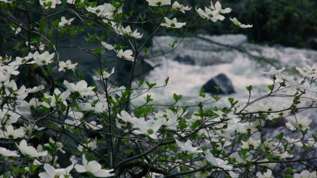 flowering dogwood trees with rushing merced river in background in yosemite national park, california - merced fluss stock-videos und b-roll-filmmaterial