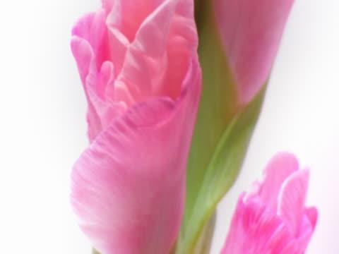 flowering gladiola - gladiolus stock videos & royalty-free footage