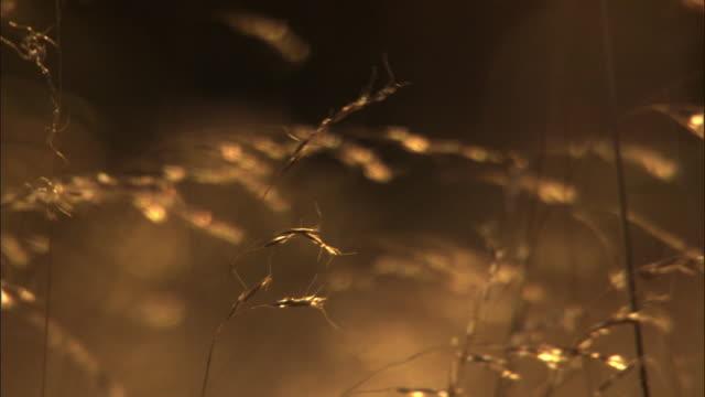 Flowering grasses at sunset, Madagascar
