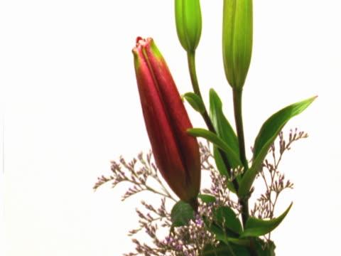 flowering lily - staubblatt stock-videos und b-roll-filmmaterial