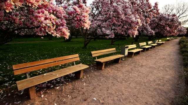 Flowering magnolia trees and park benches in spring, Aschaffenburg, Bavaria, Germany