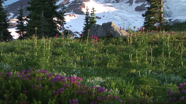zo, ws, flowering meadow and snow capped mount rainier, mount rainier national park, washington, usa - mount rainier stock-videos und b-roll-filmmaterial