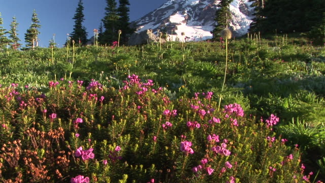 ws, tu, flowering meadow and snow capped mount rainier, mount rainier national park, washington, usa - mount rainier stock-videos und b-roll-filmmaterial