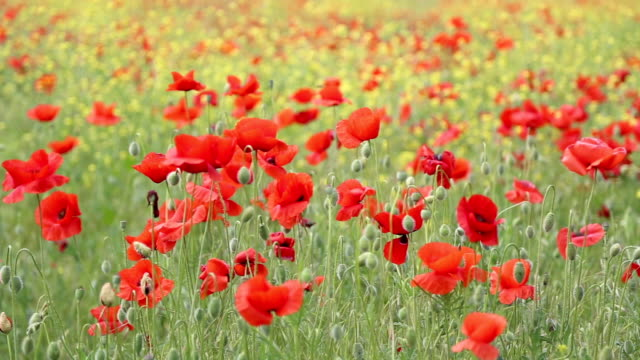 flowering meadow - remembrance sunday stock videos & royalty-free footage
