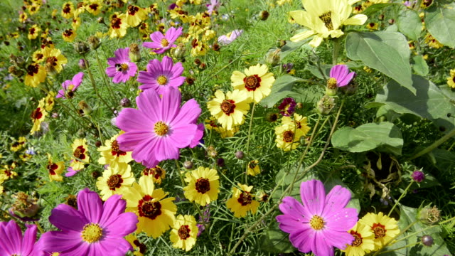 Flowering meadow, yellow Rudbeckia Asteraceae flower and pink Cosmea bipinnatus flower.