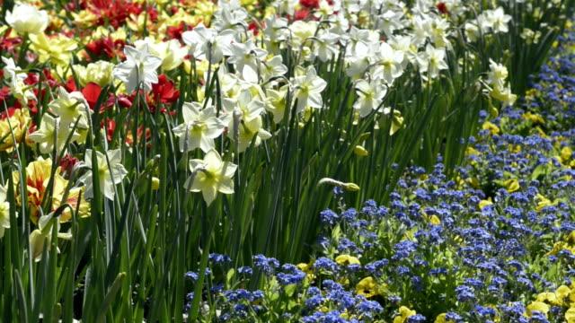 vidéos et rushes de flowering narcissus in park - parterre de fleurs