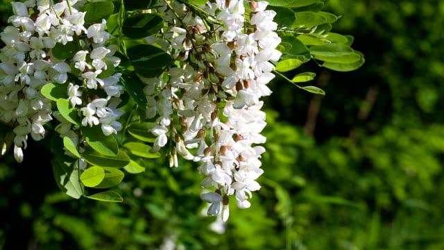 vídeos y material grabado en eventos de stock de cornejo de acacia.   bee recogida de néctar de acacia flores. - haz de luz