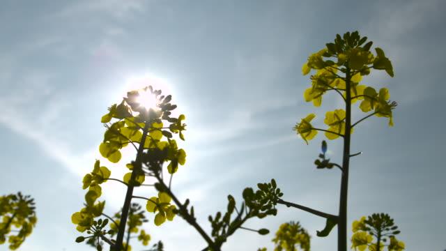 flowering oilseed rape crop in field, uk - sun stock videos & royalty-free footage