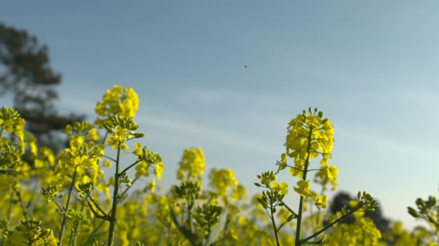 flowering oilseed rape crop in field, uk - cloud sky stock videos & royalty-free footage