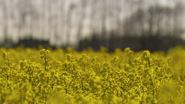 flowering oilseed rape crop in field, uk - oilseed rape stock videos & royalty-free footage