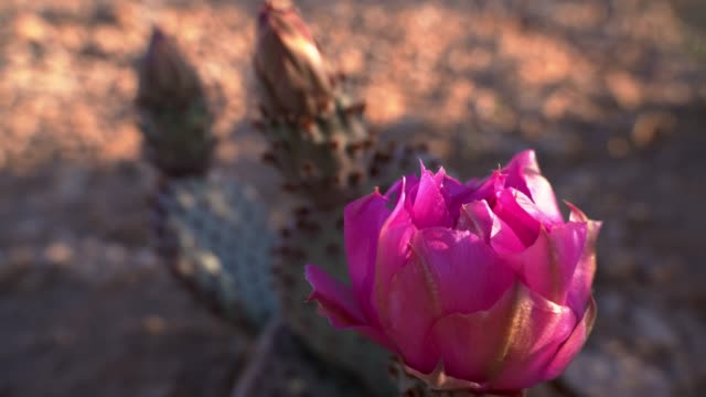 flowering opuntia basiliaris, or beavertail cactus, in the arizona desert at early spring - flowering cactus stock videos & royalty-free footage