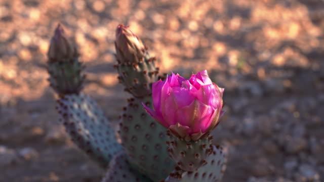 早春にアリゾナ砂漠で開花オプンティアバジリアリス、またはビーバーテールサボテン - ガラパゴスウチワサボテン点の映像素材/bロール