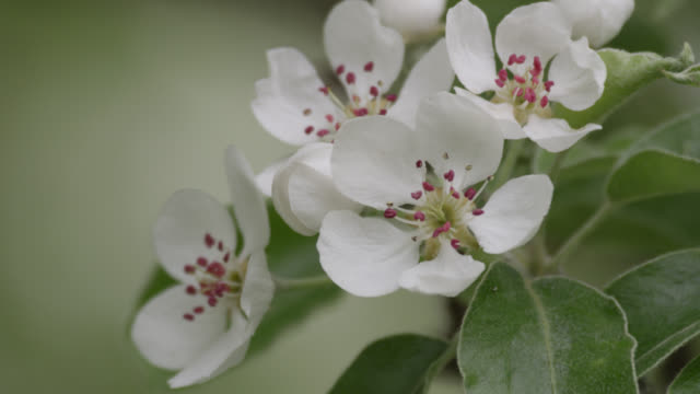 flowering orchard tree blossom, herefordshire, england - herefordshire stock videos & royalty-free footage