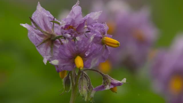 flowering potato crop on farm, uk - pollen stock videos & royalty-free footage
