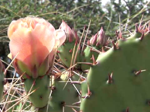 cu, flowering prickly pear cactus, canyon del muerto, canyon de chelly national monument, arizona, usa - canyon de chelly stock videos & royalty-free footage