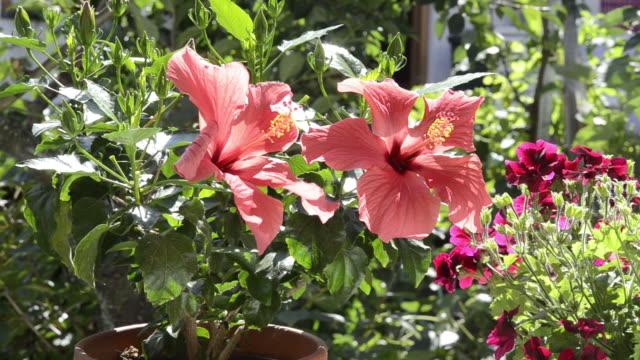 ms flowering red hibiscus in garden / landshut, bavaria, germany - ståndare bildbanksvideor och videomaterial från bakom kulisserna