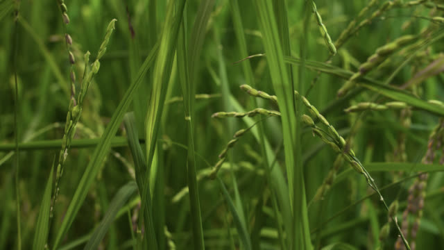stockvideo's en b-roll-footage met tl flowering rice crop - cereal plant