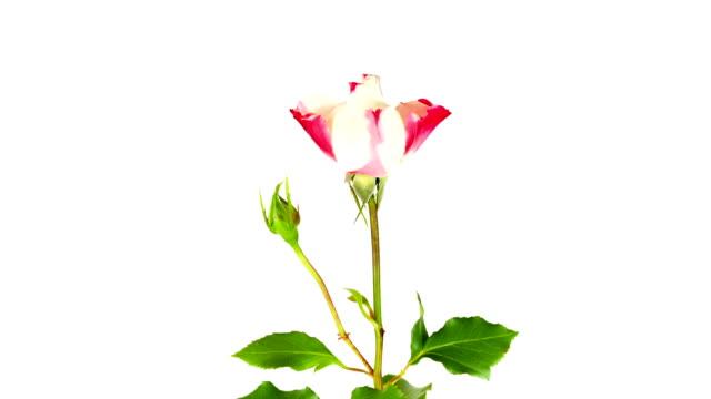Flowering Rose; TIME LAPSE