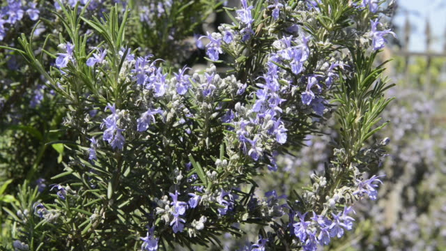 ms flowering rosemary (rosmarinus officinal is) / san gimignano, tuscany, italy - ローズマリー点の映像素材/bロール